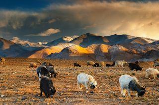 Paisaje tibetano con pastoreo de ovejas y cabras