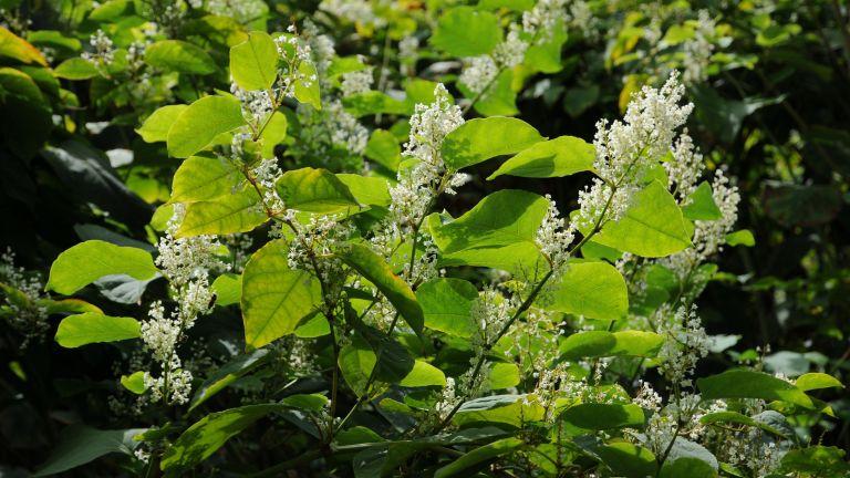 Japanese Knotweed in bloom