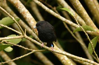 A Chatham Island black robin