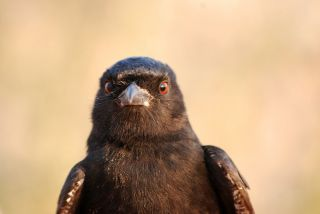 fork-tailed drongo face