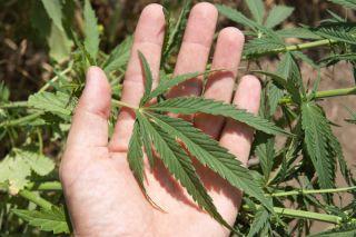 Cannibis Plant Leaf