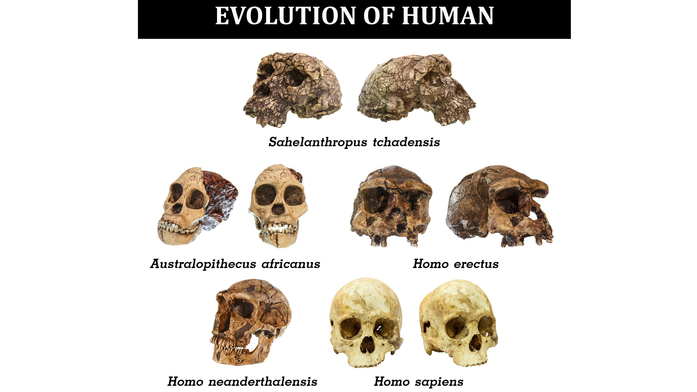 skulls of early human species