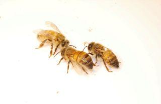 honeybee with DWV