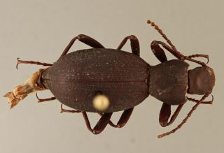 The newly discovered beetle, Eleodes wynnei, found in a northern Arizona cave.