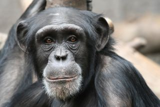 portrait of a young chimpanzee