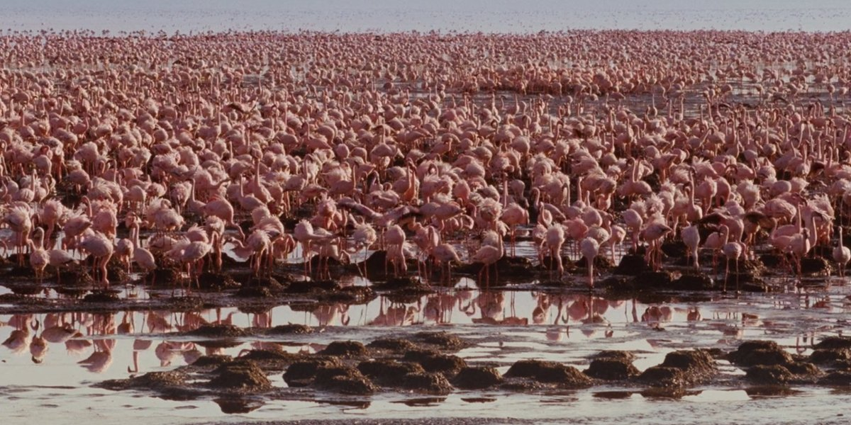 Flamingos flock in The Crimson Wing: Mystery Of The Flamingos