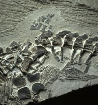 ichthyosaur mother