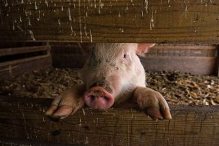 Hours After Pigs' Death, Scientists Restore Brain Cell
