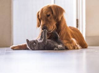 A cat playing with a golden retriever