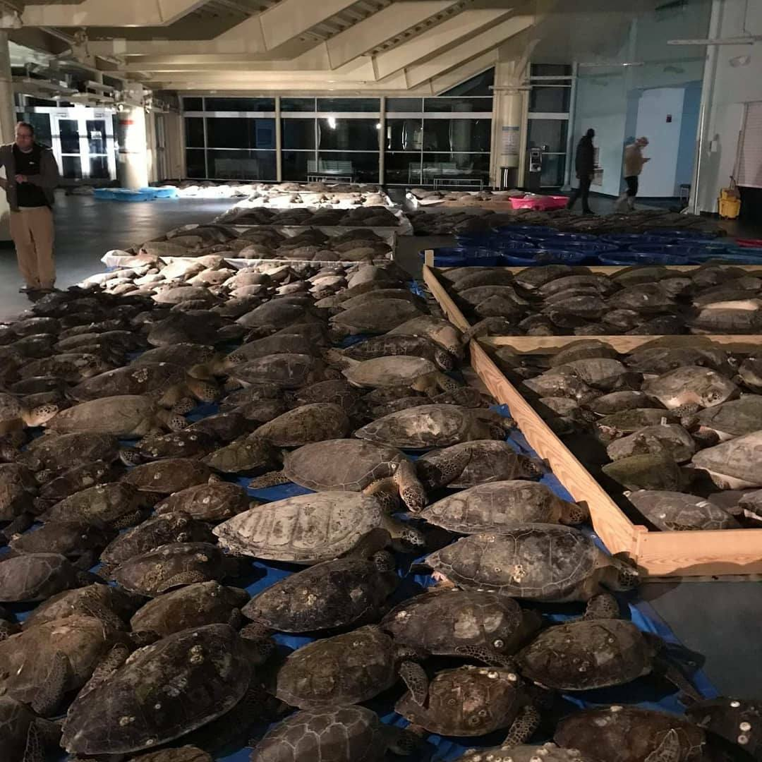 thousands of sea turtles are dry-docked as they recover from being cold stunned near South Padre, texas