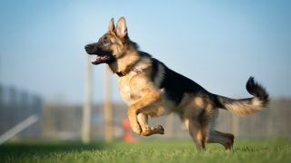 A lovely german shepherd playing a field
