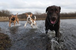 Three dogs splash in the water.