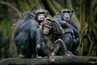 A group of chimpanzees.