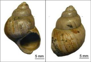 freshwater snail shells
