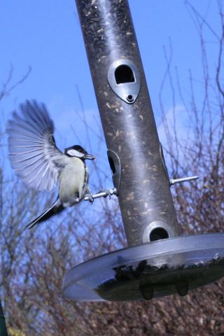 Great tit flying in to a feeder to grab a snack.