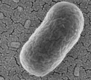A microscope image of E. coli, perhaps the most well known species of bacteria to live in human guts.