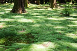 Japan's humid climate creates perfect conditions for moss to thrive, as it does here at a park in Toshodai-ji Temple in Naro, Japan.