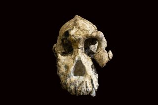 an image of a nearly complete australopithecus skull