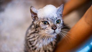 Best cat shampoo: Cat having a bath