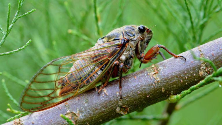 cicadas, bugs, insects, cicada