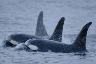 orcas, endangered animals