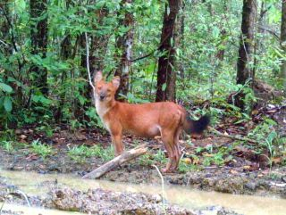 Camera trap photo of a dhole.