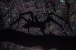 Shadow of a Brazilian wandering spider.