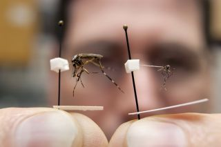 The size difference between an invasive Asian tiger mosquito, right, and the native species Psorophora ciliata, sometimes called the gallinipper. Gallinippers are about 20 times larger than most common mosquitoes.