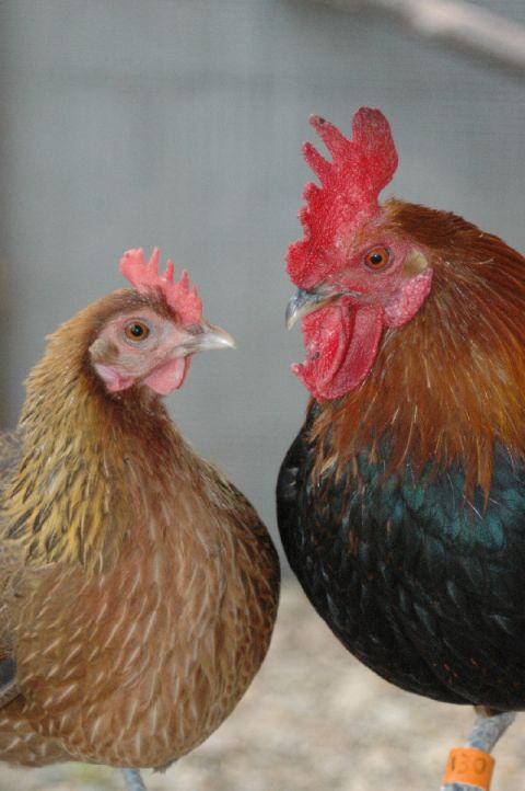 Rooster sperm make hen — 5