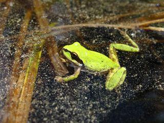 Pacific chorus frog