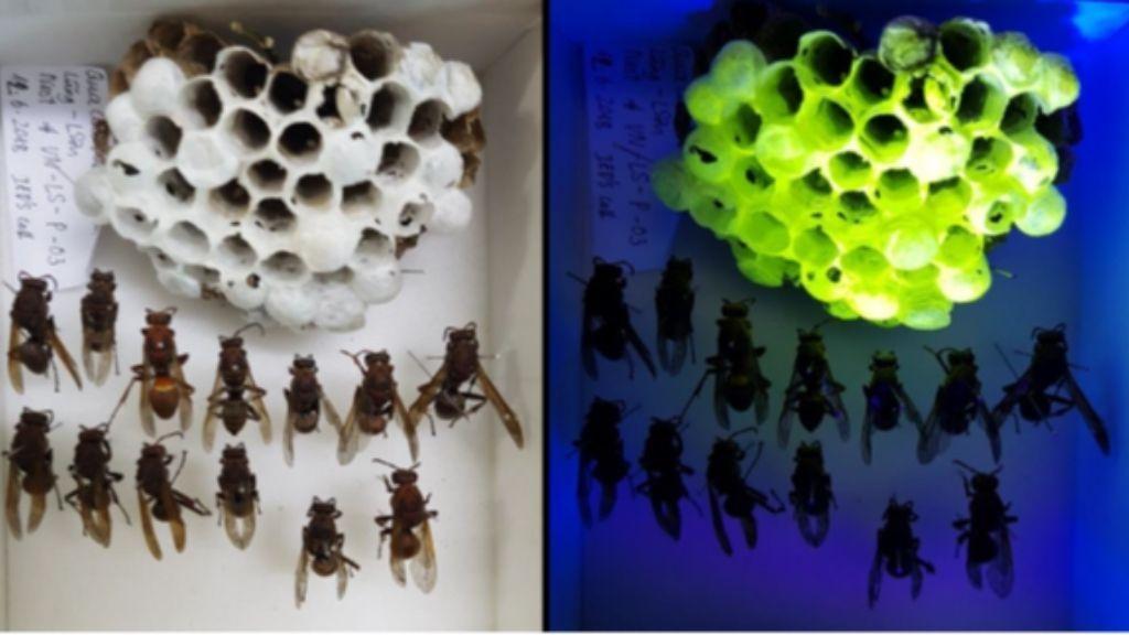 Strange wasp nests glow neon green under UV light