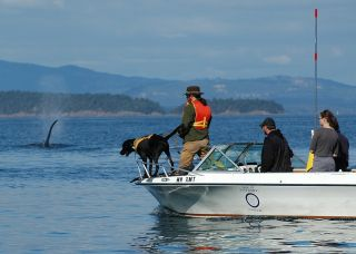 Scat-Detecting Dog on a boat, chasing a whale