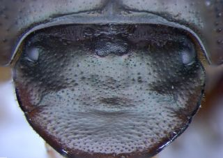 Without the orthodenticle gene, this dung beetle (<em>Onthophagus Sagittarius</em>) grows an extra compound eye at the top center of its head.