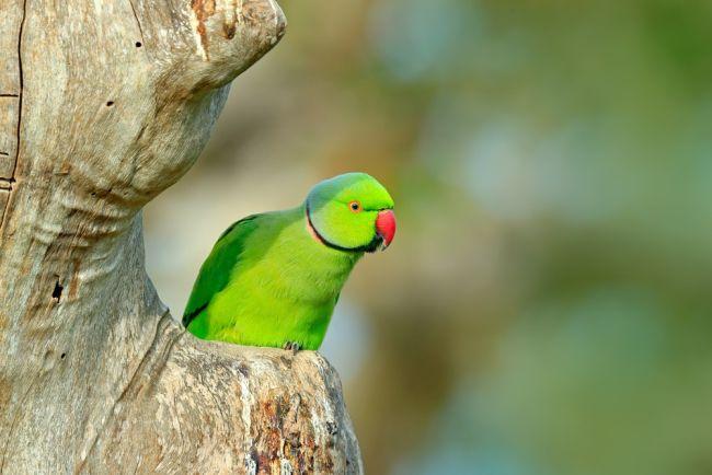 Papagaios viciados em ópio estão aterrorizando fazendas de papoulas na Índia