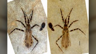 Recovered from the Green River Formation in present-day Colorado, this fossil represents a new genus and species of predatory insects known as assassin bugs. The pygophore, a capsule containing genitalia, is the oval shape at the bottom of the bug's abdomen.