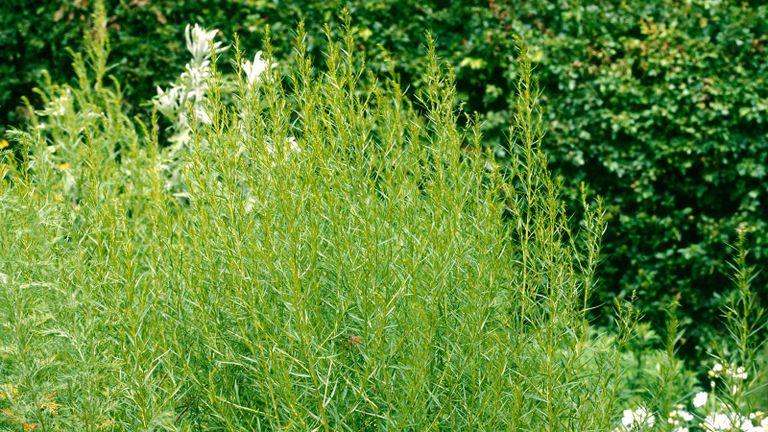 Tarragon - Russian - (Artemisia dracunculus var. inodora)