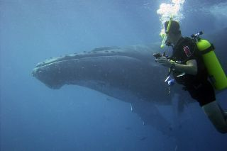 Humpback whale and diver