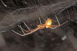 A male <em>Manogea porracea</em> spider on its web.