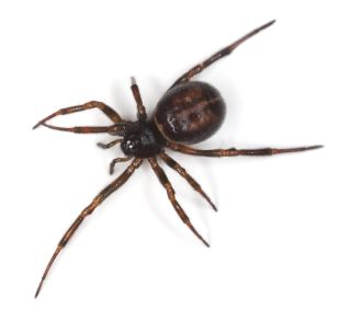 false-widow
