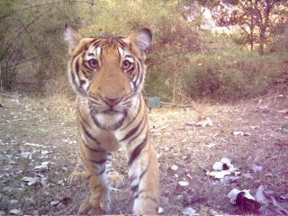 Tiger cub photographed by a camera trap