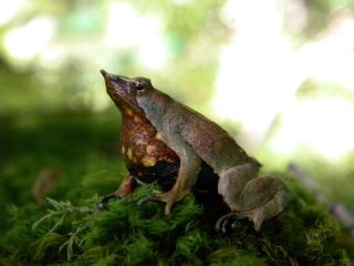 The southern Darwin's frog (Rhinoderma darwinii) is in decline thanks to chytrid fungus and habitat loss.