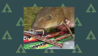 How to catch barbel: A freshly caught barbel