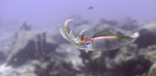 squid, humans, eyes, evolution