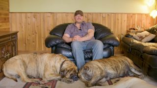 Two massive mastiffs relaxing with their owner