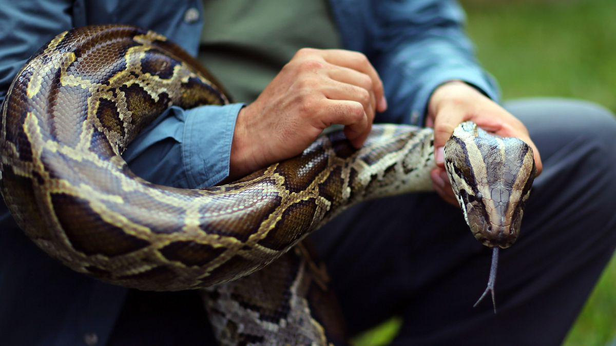 Hunters Set to Round Up Giant Burmese Pythons in Florida Challenge