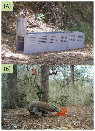 A trap used to capture Komodo dragons (top) and one of the lizards caught on camera.