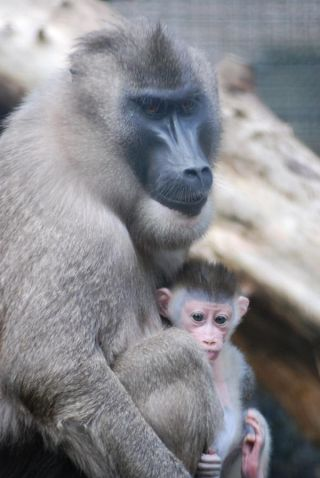 monkey-baby-111006-02