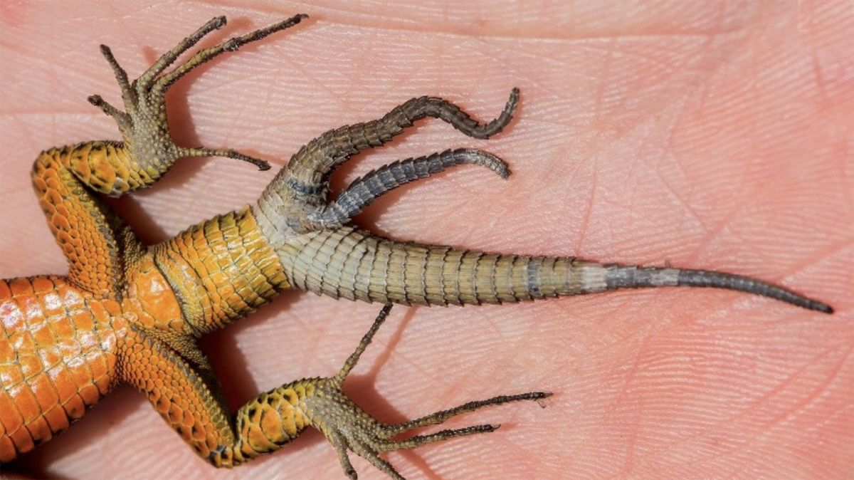 Lizards with multiple tails are more common than anyone knew