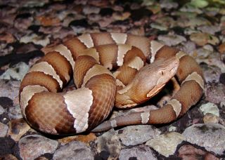 Like other pit vipers, copperhead snakes give birth to live young.