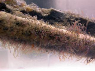 boneworms